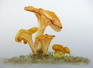 Aquarelle : Chanterelles