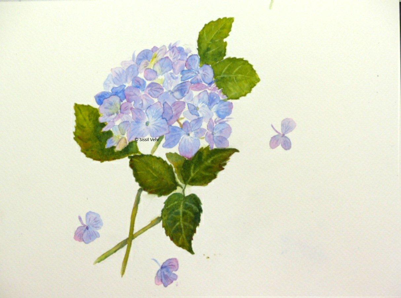 aquarelle : hortensia 2