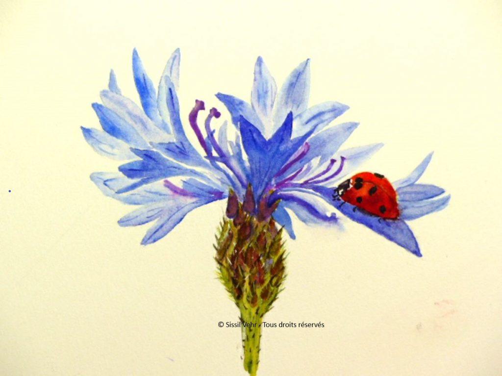 aquarelle Bleuet