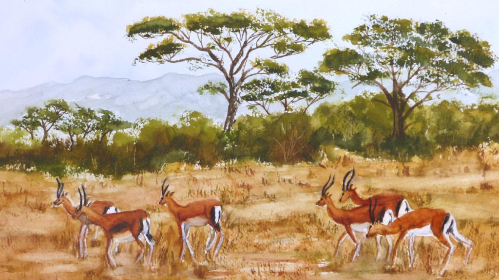 aquarelle : Springboks